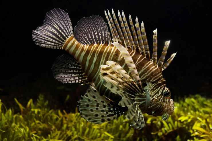 fish fishtank lionfish animal